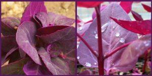 Frunze violete de Loboda