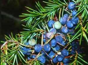 Ienuparul - juniperus communis
