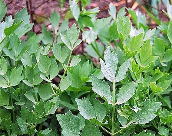 Leusteanul, planta subapreciata